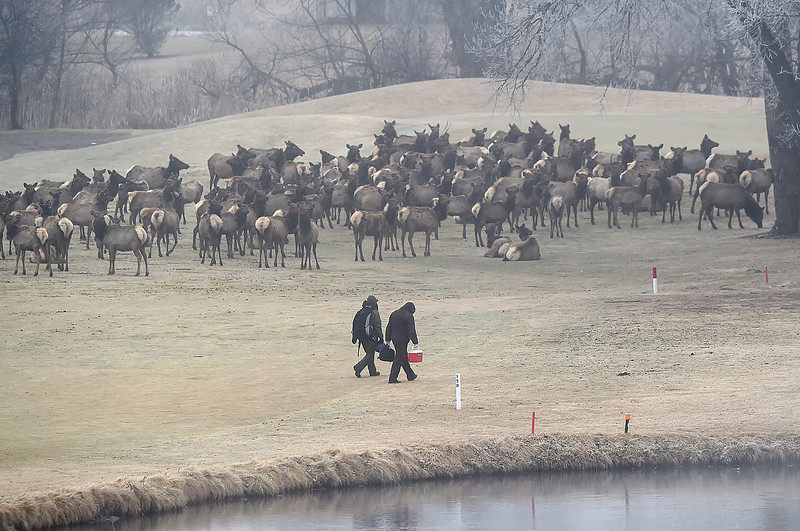 National Parks Service Biologial Resource Management Division employees working with Rocky Mountain National Park Service employees and Colorado Parks and Wildlife employees working to remove collars from animals who are no longer needed for a research project walk past a herd of elk at the Mariana Butte Golf Course Friday, Feb. 9, 2018, in west Loveland.  (Photo by Jenny Sparks/Loveland Reporter-Herald)