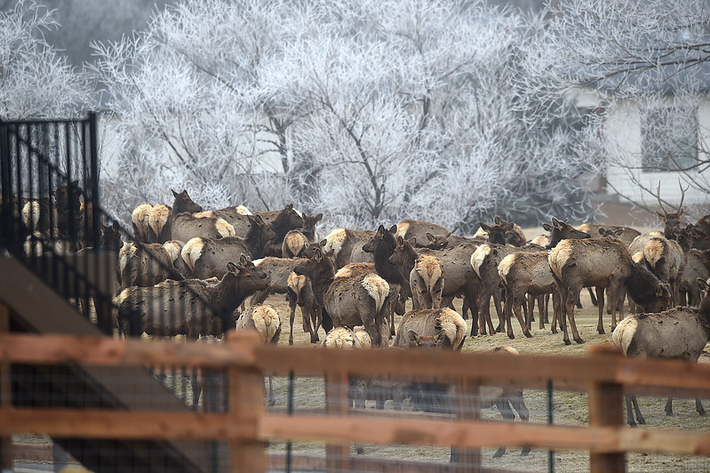 A herd of elk hang out near a residents backyard and deck on the Mariana Butte Golf Course Friday, Feb. 9, 2018, in west Loveland.  (Photo by Jenny Sparks/Loveland Reporter-Herald)