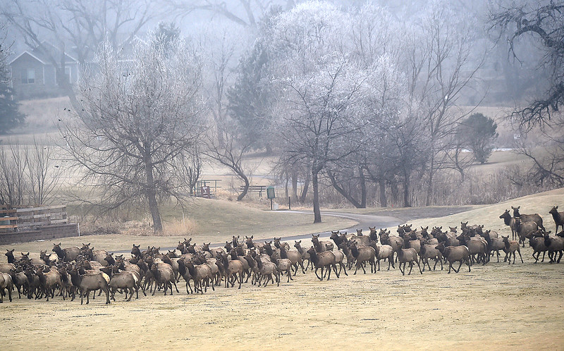 A herd of elk trots across the Mariana Butte Golf Course Friday, Feb. 9, 2018, in west Loveland.  (Photo by Jenny Sparks/Loveland Reporter-Herald)