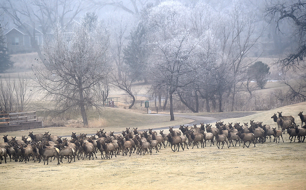 . A herd of elk trots across the Mariana Butte Golf Course Friday, Feb. 9, 2018, in west Loveland.  (Photo by Jenny Sparks/Loveland Reporter-Herald)