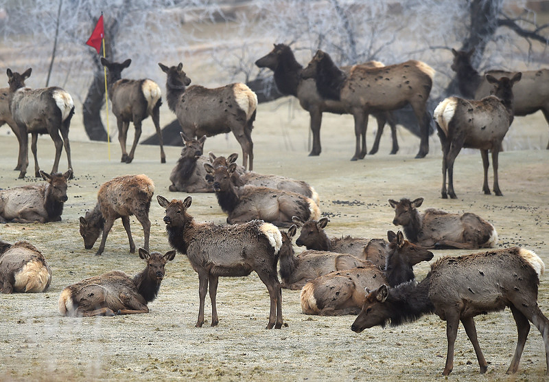 Cow elk graze in the grass at the Mariana Butte Golf Course Friday, Feb. 9, 2018, in west Loveland.  (Photo by Jenny Sparks/Loveland Reporter-Herald)