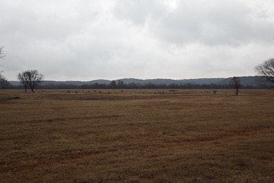 Elk herd in Oklahoma