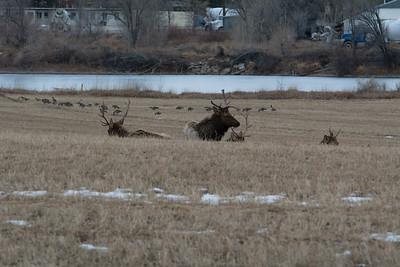 Elk in January