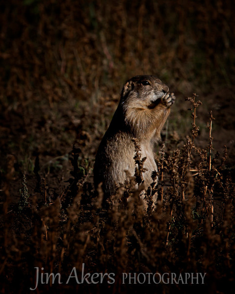 """Watchful Eye""  When we saw prairie dogs they watched every move we made.  Gregarious but cautious and ever watchful for predators."
