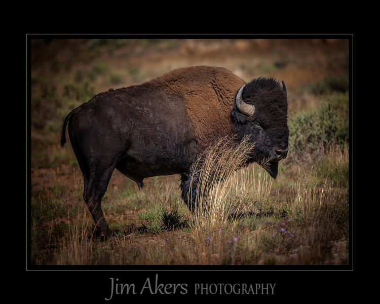 """""""Leave me Alone""""  When provoked you don't want to stand your ground. Bison herd seemed to be doing well."""