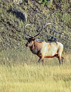 Bull Elk, Yellowstone, Madison River