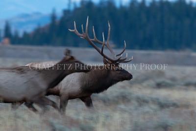 Elk on the Run w/cow