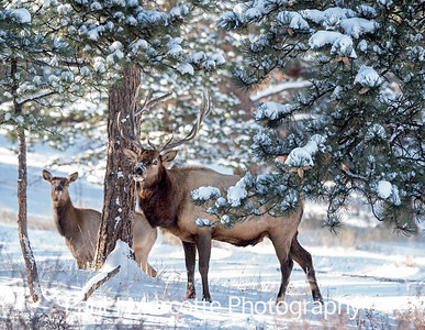 Bull and Cow Elks in the Estes Park snow