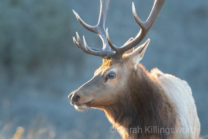 tule elk bull glowing at sunset