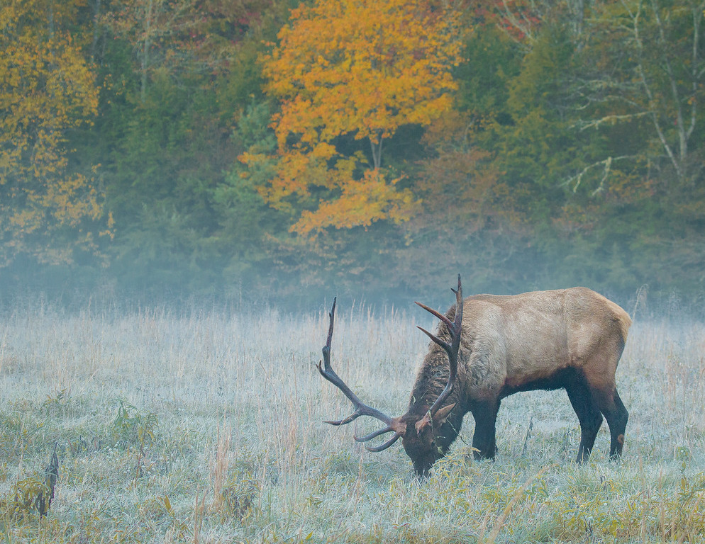 Elk; Cow; Bull Elk; Cataloochee; Cataloochee Valley; Great_Smoky_Mountains_National_Park; GSMNP; Smokies; CadesCove; Cades_Cove; Cades; Cove; Bears; Black_Bear; BlackBear; cub; cubs; black bear cub; Bear; sunrise; sunset; Foothills Parkway; waterfalls; waterfall; tremont; laurel creek; hiking; Sparks_Lane; Sparks; Lane; Hyatt_Lane; HyattLane; Hyatt; white_tailed_deer; whitetaileddeer; deer; buck; bucks; fawn; otter; otters; riverotter; river_otter; north_american_river_otter; north american river otter; birding; birds; ducks; migratory ducks; eagle; eagles; eaglet; little river; townsend; east_tennessee; east tennessee; tennessee; national_parks; clingmans dome; newfound gap; hiking the smokies; birding east tennessee; kayaking; kayak; cades cove loop road; loop road; Owl; owls; barred owl