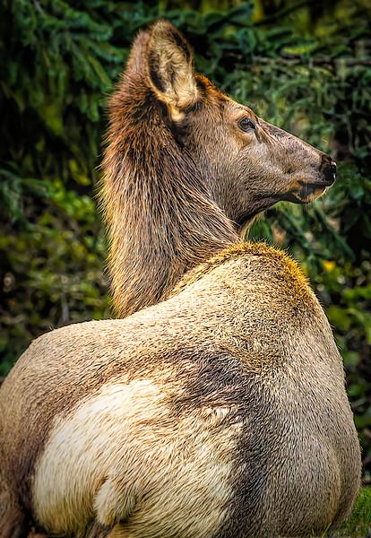 Elegant Elk