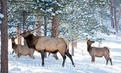 Big Bull and 2 Cows in the Estes Park snow