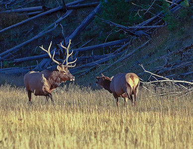 Bull and Cow Elk, sniff test during rut