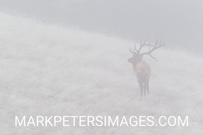 Bull Elk and Fog