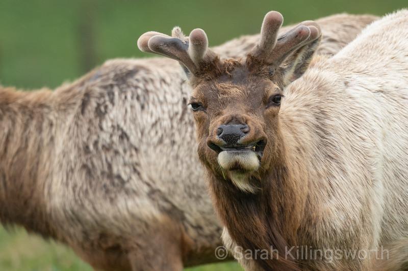 smiling elk