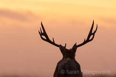 sunset elk