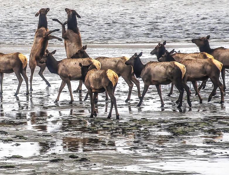 Juvenile Elk Jousting