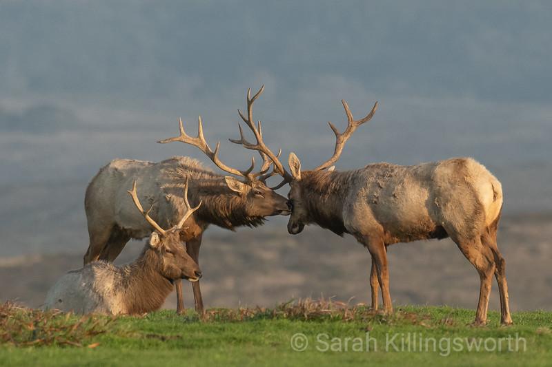 elk nuzzle