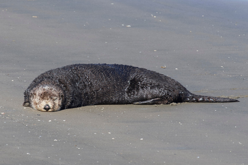 Sea otter sunning on the beach