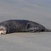 Sea otter sunning on the beach