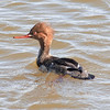 Merganser- uncertain if Common or Red-breasted