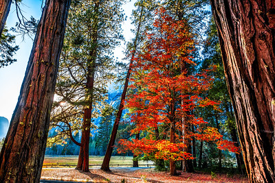 AUTUMN FRAMED BY GIANT SEQUOIAS