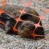 Snapping turtle at Elm Street site.