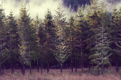 Morning Evergreens