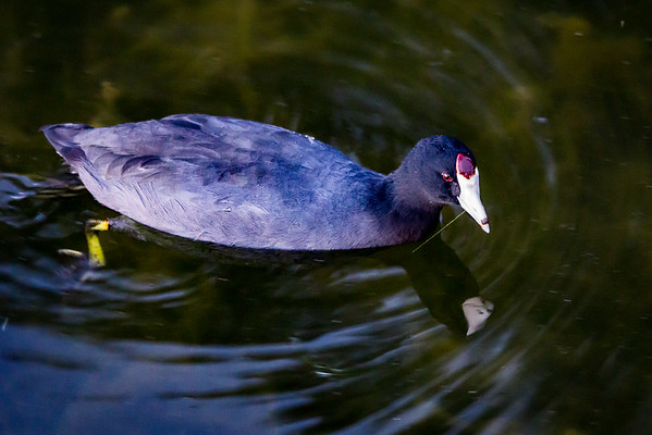 An American Coot (Fulica americana) Searches for Dinner