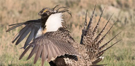 Colorado Grouse with FIELD GUIDES BIRDING TOURS