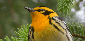 Pennsylvania with FIELD GUIDES BIRDING TOURS