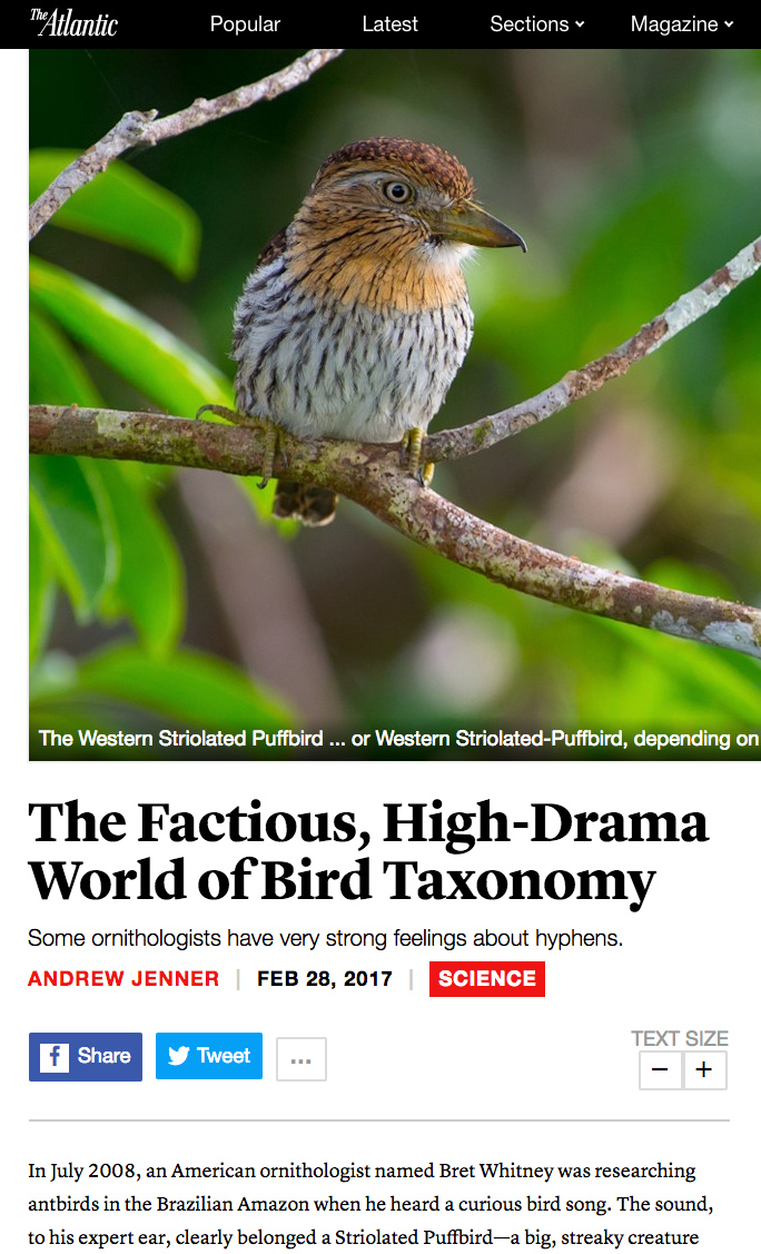 Striolated Puffbird article