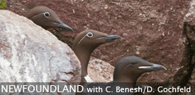 Newfoundland/Nova Scotia birding tour with FIELD GUIDES