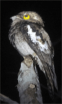 White-winged Potoo by guide Bret Whitney of FIELD GUIDES