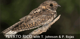 Puerto Rico birding tour with FIELD GUIDES