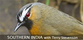 Field Guides Birding Tour to SOUTHERN INDIA