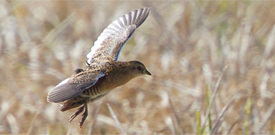 Louisiana with FIELD GUIDES BIRDING TOURS