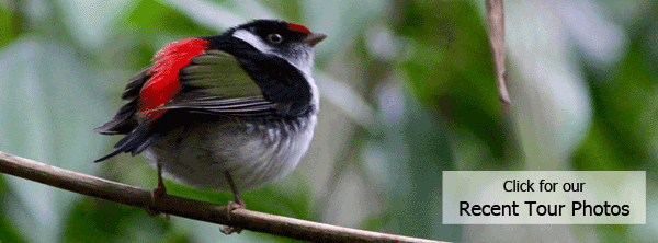 Pin-tailed Manakin from FIELD GUIDES Serra dos Tucanos, Brazil tour by guide Marcelo Padua