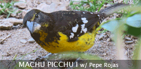 Peru birding tour with FIELD GUIDES