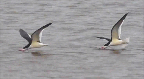 Black Skimmers at Cape May with FIELD GUIDES BIRDING TOURS