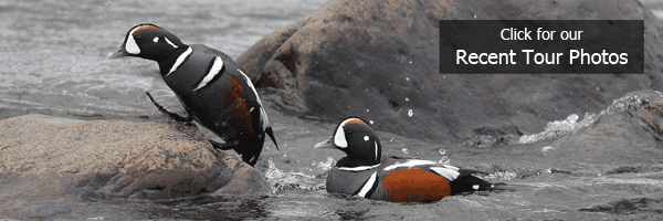 Harlequin Ducks on FIELD GUIDES Iceland tour by Eric Hynes