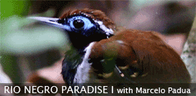 Rio Negro Paradise, Brazil birding tour with FIELD GUIDES