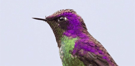 Peru with FIELD GUIDES BIRDING TOURS