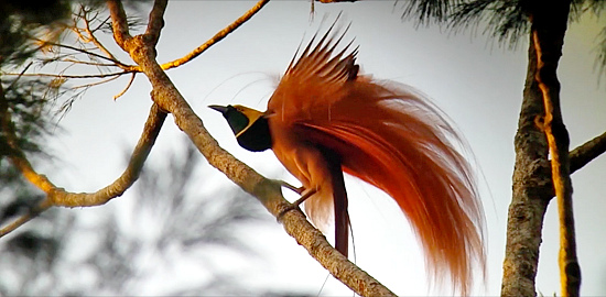New Guinea with FIELD GUIDES BIRDING TOURS