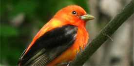 Point Pelee with FIELD GUIDES BIRDING TOURS