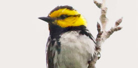 Big Bend with FIELD GUIDES BIRDING TOURS