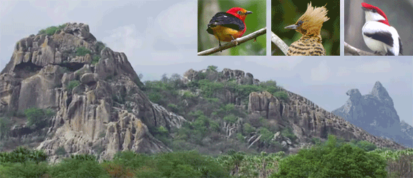 Northeast Brazil birding tour with FIELD GUIDES