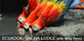 Sacha Lodge, Ecuador birding tour with FIELD GUIDES