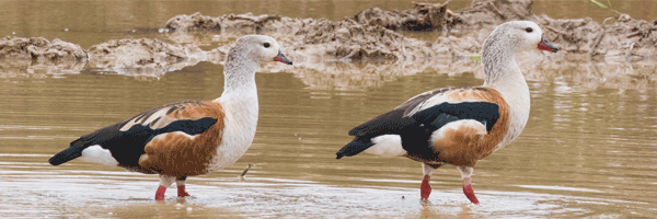 Orinoco Geese from the FIELD GUIDES Colombia: Llanos & More tour