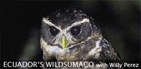 Field Guides Birding Tour to ECUADOR'S WILDSUMACO LODGE
